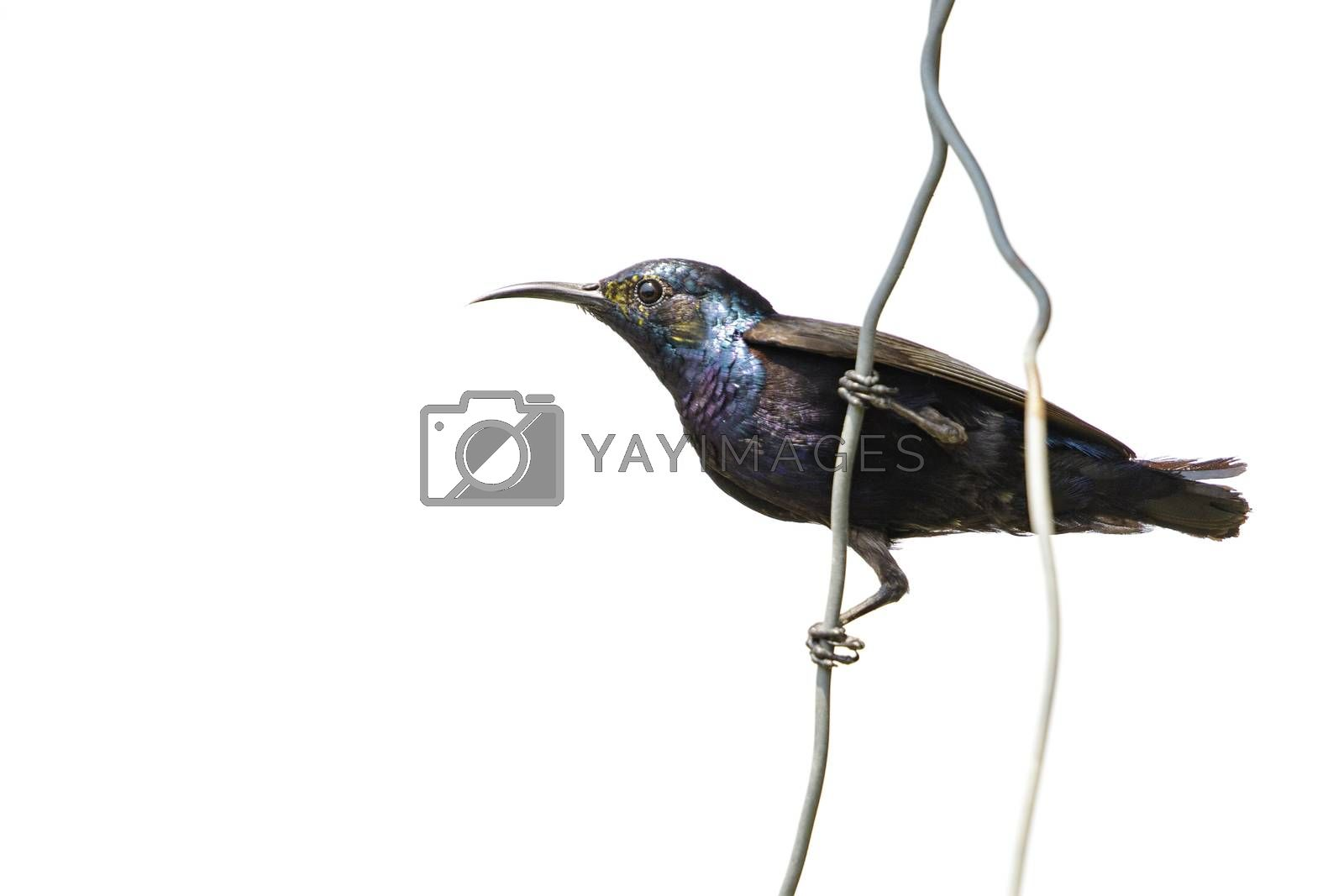 Image of purple sunbird(Male) on the wire on white background. ( by yod67