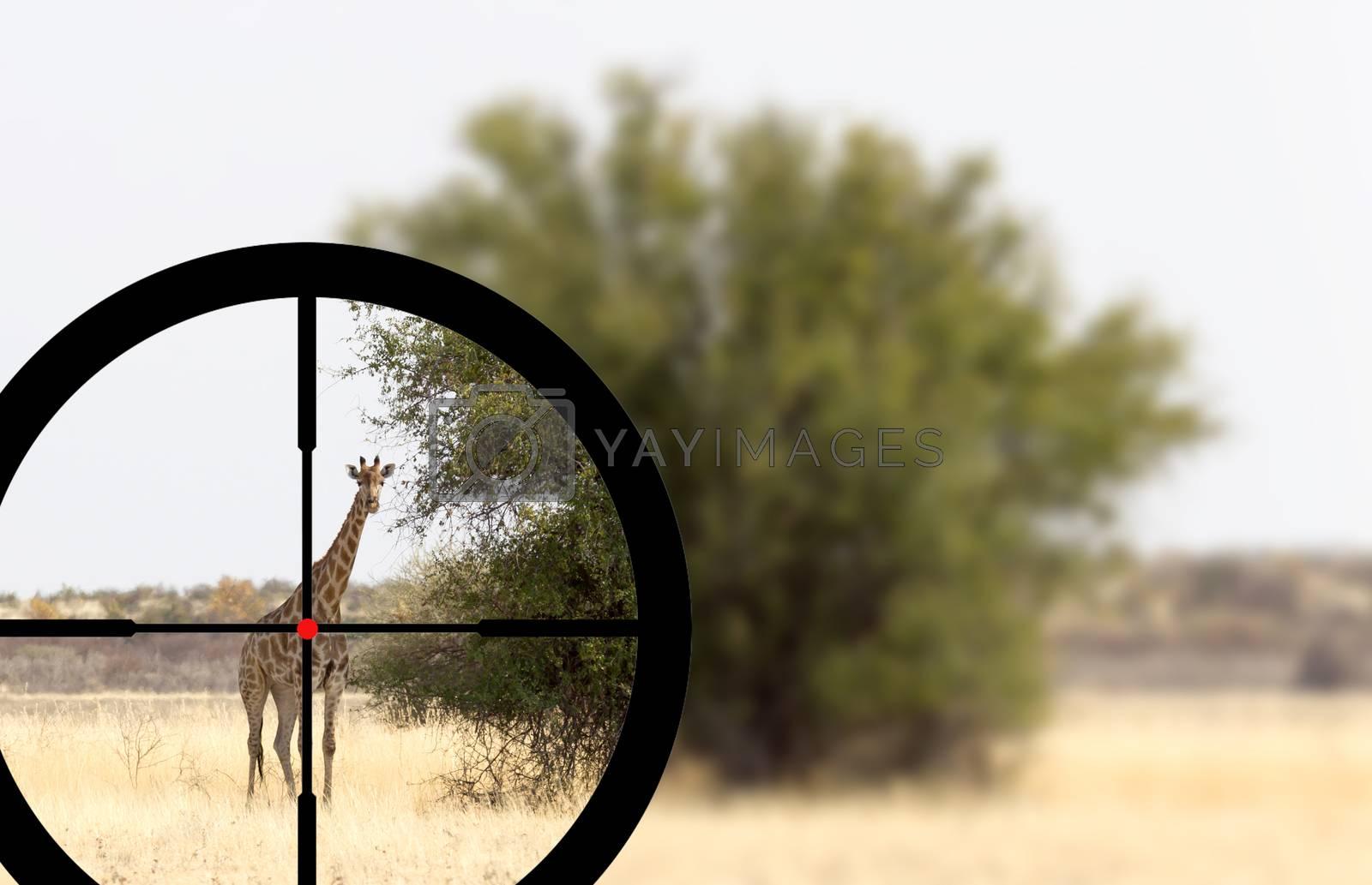 Hunting a single adult giraffe in the Kalahari by michaklootwijk