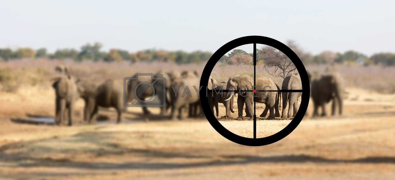 Hunting: African elephant in it's natural habitat by michaklootwijk