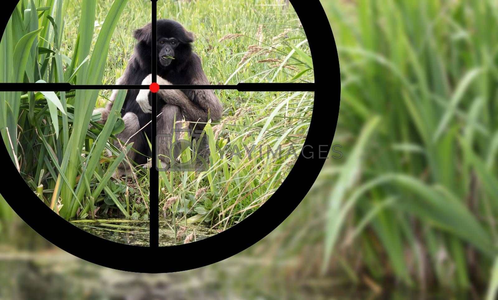 Hunting an adult white handed gibbon by michaklootwijk