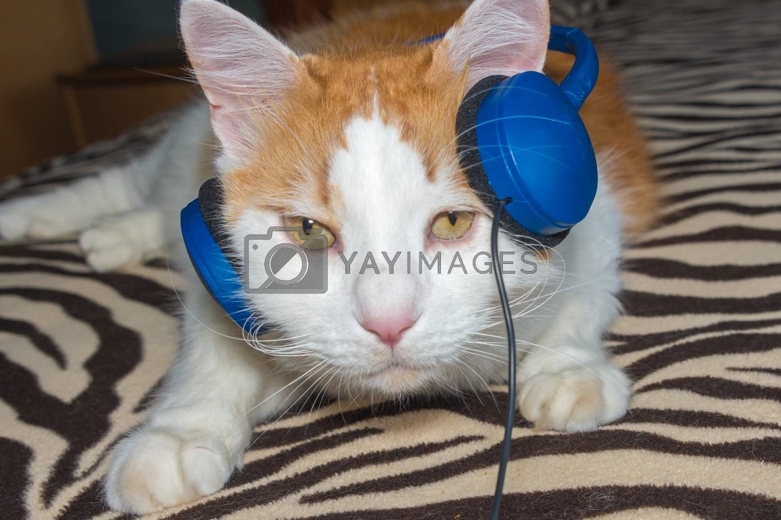 Cat listening to music in the earpiece by ben44