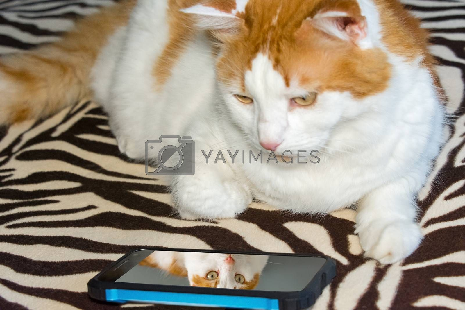 Cat looks at your photo in the phone by ben44