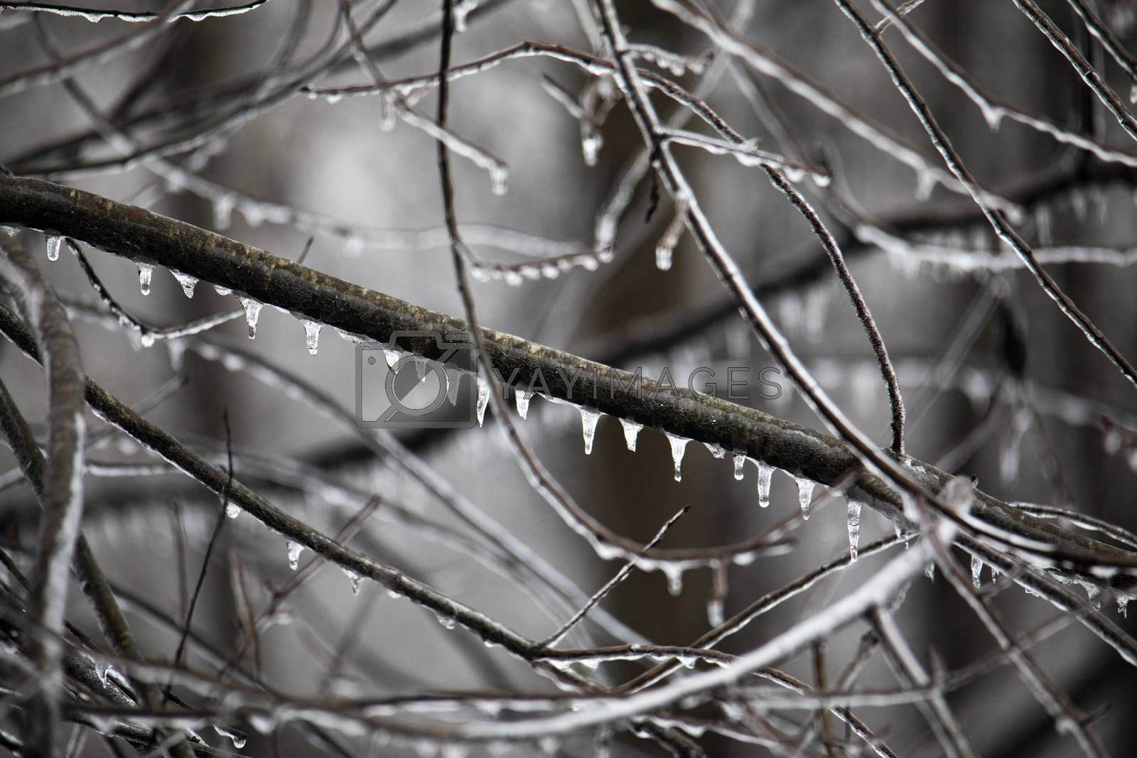 Woodland Limbs Dripping with Ice by Charlie Floyd