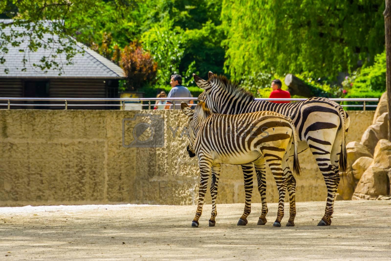 mother and juvenile hartmann's mountain zebra together, Antwerp animal zoo, Antwerpen, Belgium, April 23, 2019