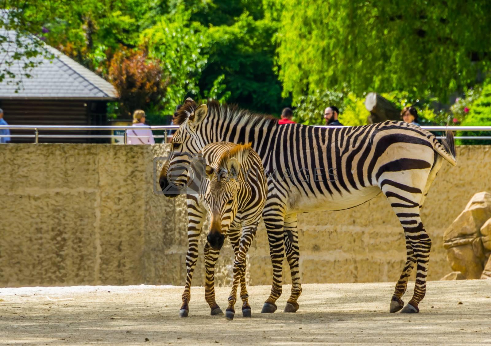 mother hartmann's zebra with foal in the animal zoo of antwerp, Antwerpen, Belgium, April 23, 2019