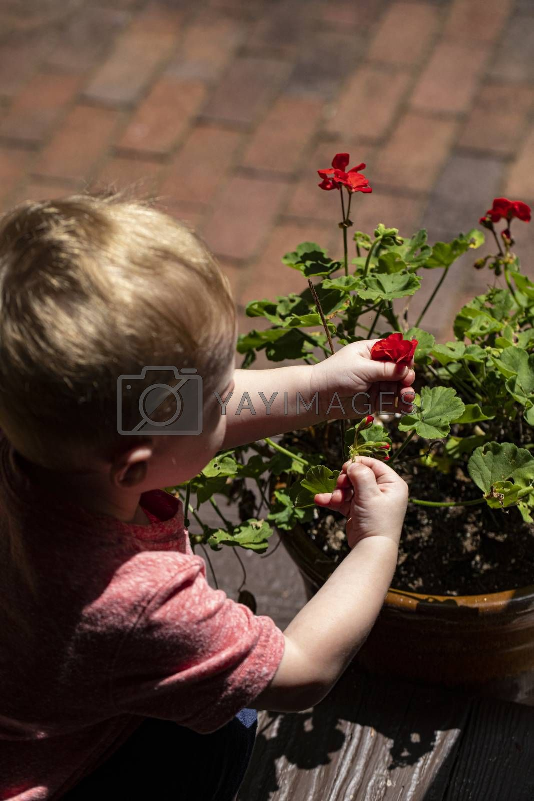 Toddler Picking Red Flowers by Charlie Floyd