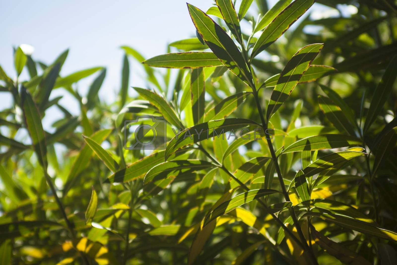 Oleander leaves in the sun #17 by Filippo Carlot