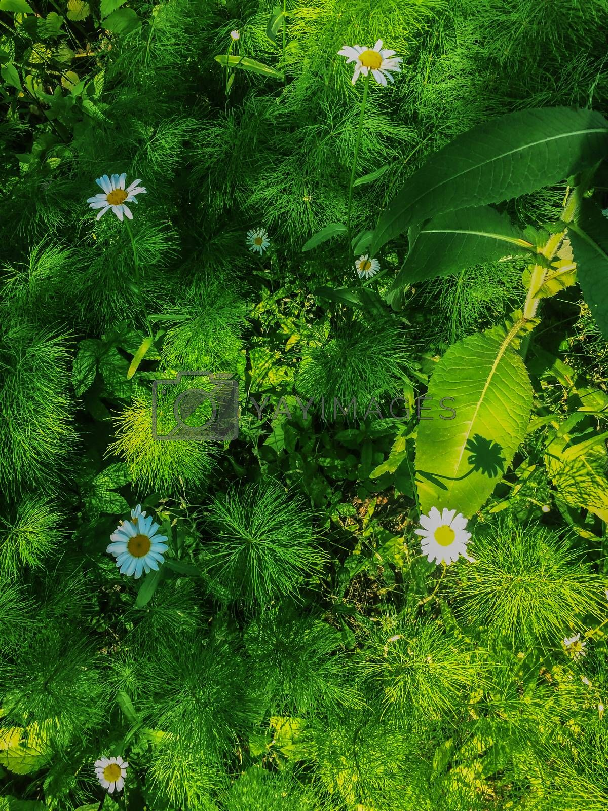 Green grass and chamomiles in the nature by Eskimos