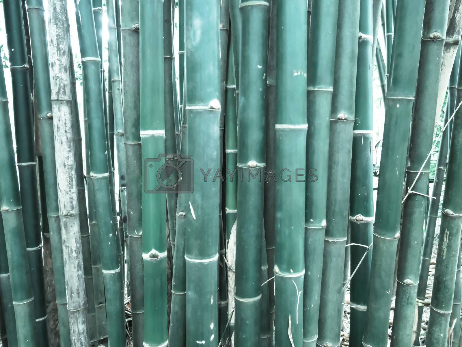Bamboo forest in the morning, picturesque thickets of a bamboo,  by Thanacharoennat