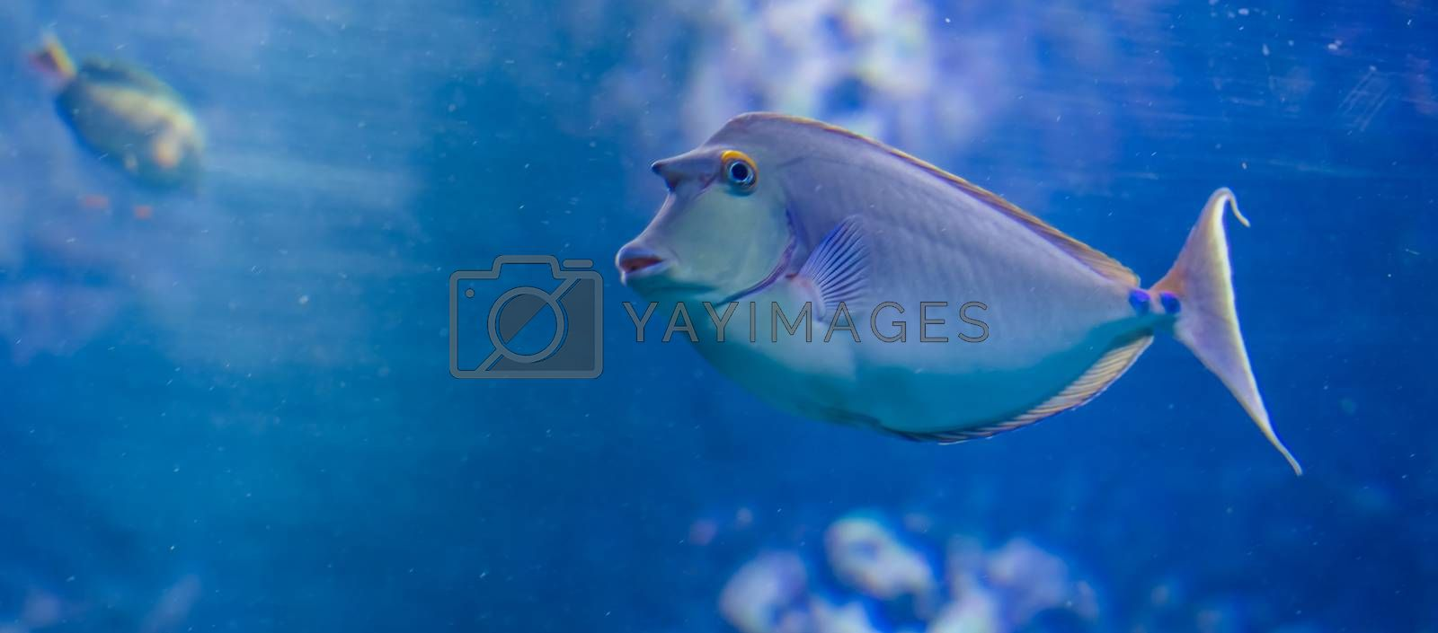 bluespine unicorn fish in closeup, funny tropical fish with a horn from hawaii