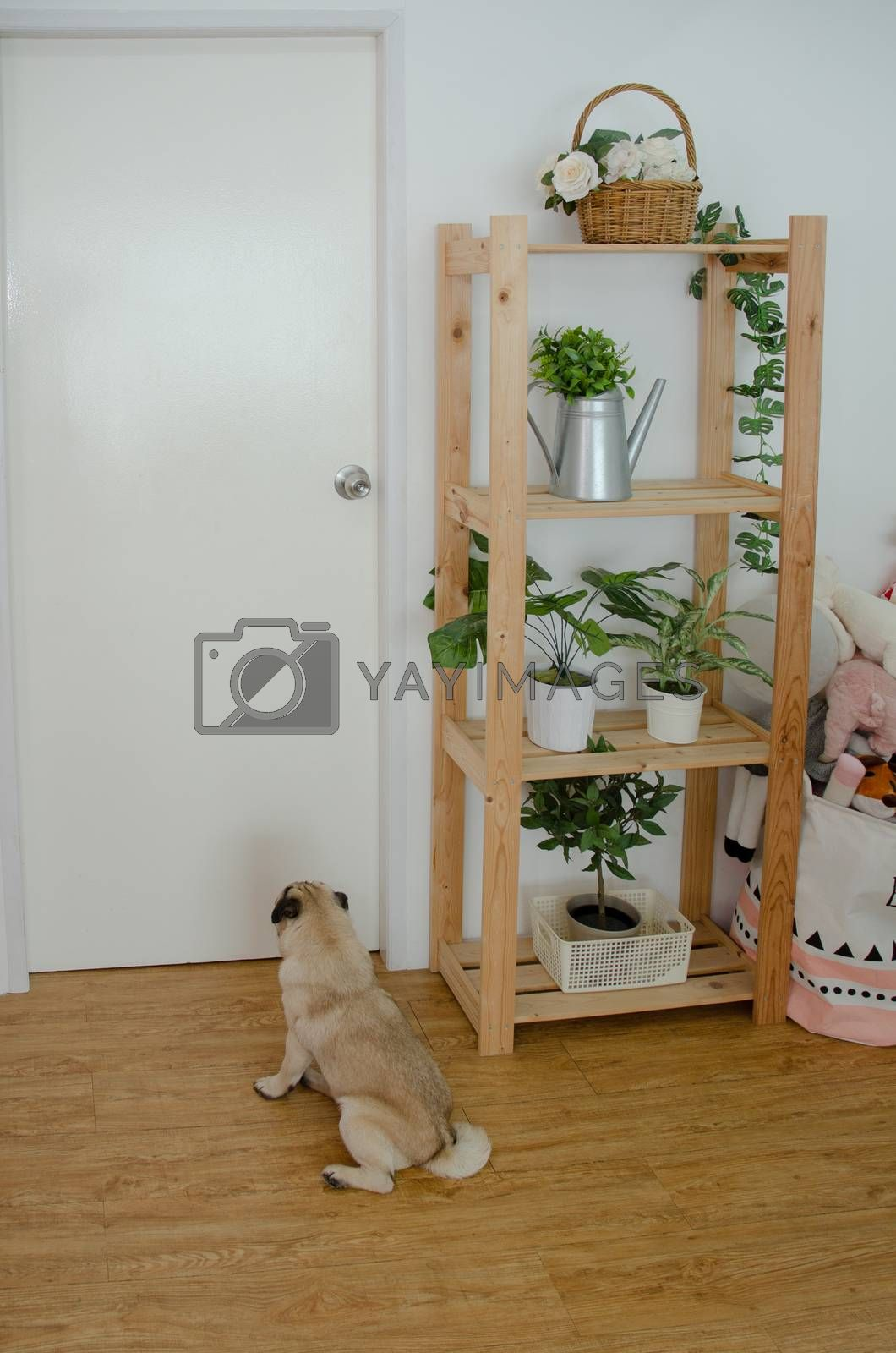 Brown dog fur face Lie in the room And looking straight ahead in the morning.Do not focus on objects.Cute fat male pet on brown wood floor.Male dog plug.