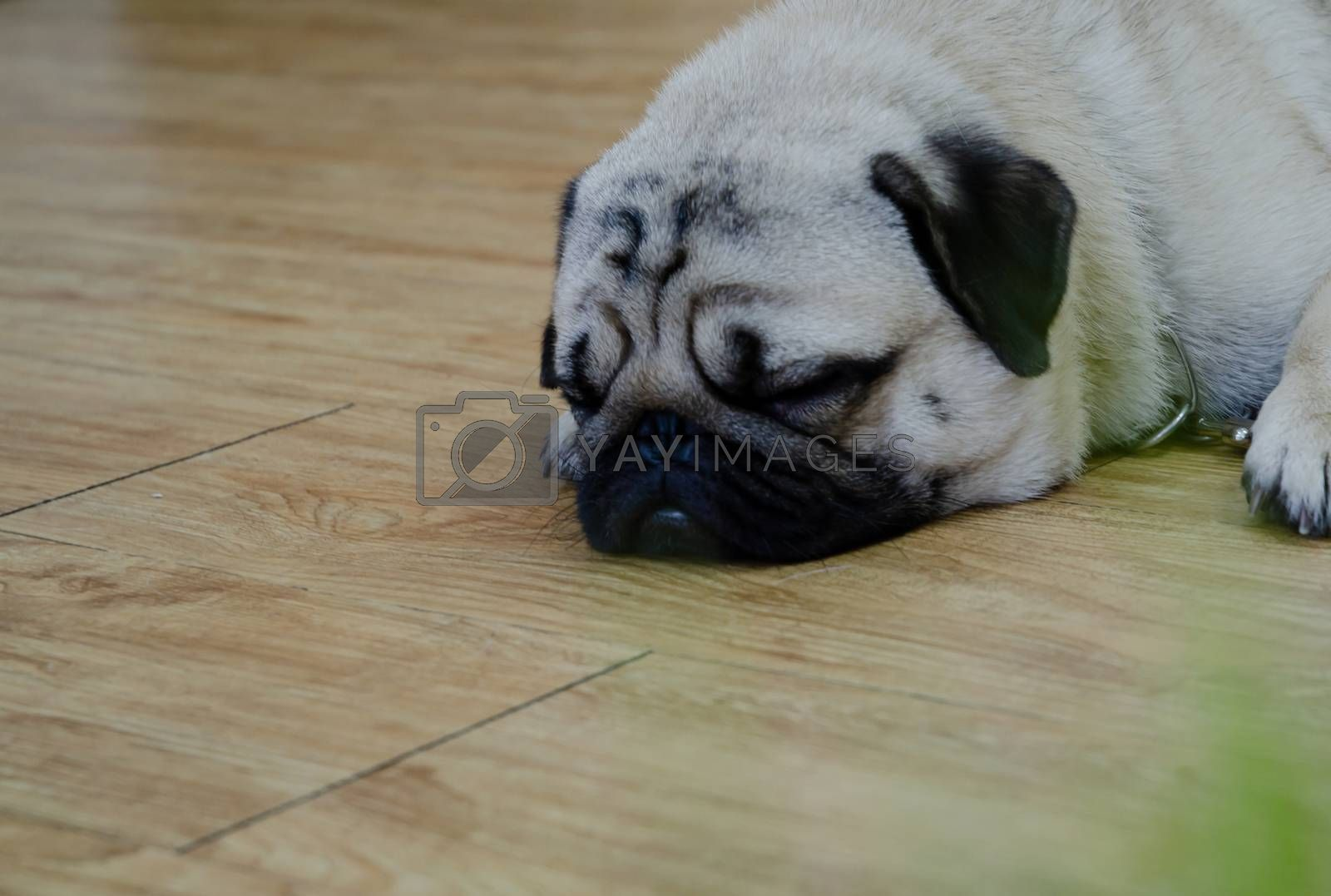 Cute brown hair on the floor in the morning.Cute fat male pet on brown wood floor.Male dog plug.Do not focus on objects.