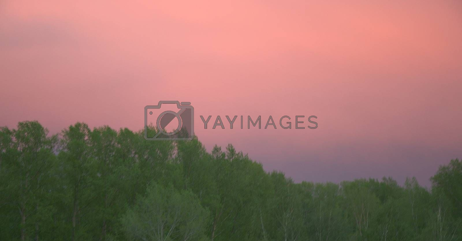 Cumulus clouds painted in pink at sunset. on the background of green forest.