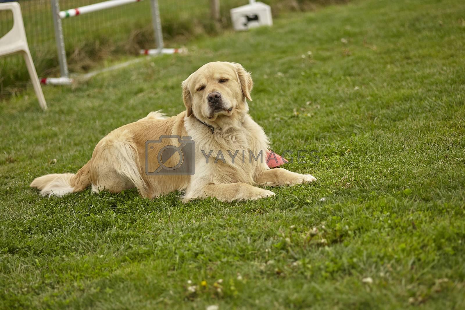Labrador dog rest in the garden