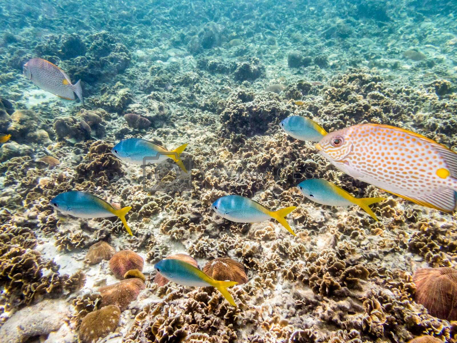 Underwater photos of group Yellowback Fusilier or Caesio Xanthonota is a beautiful sea fish swimming above the coral reefs at Koh Nang Yuan island in Thailand