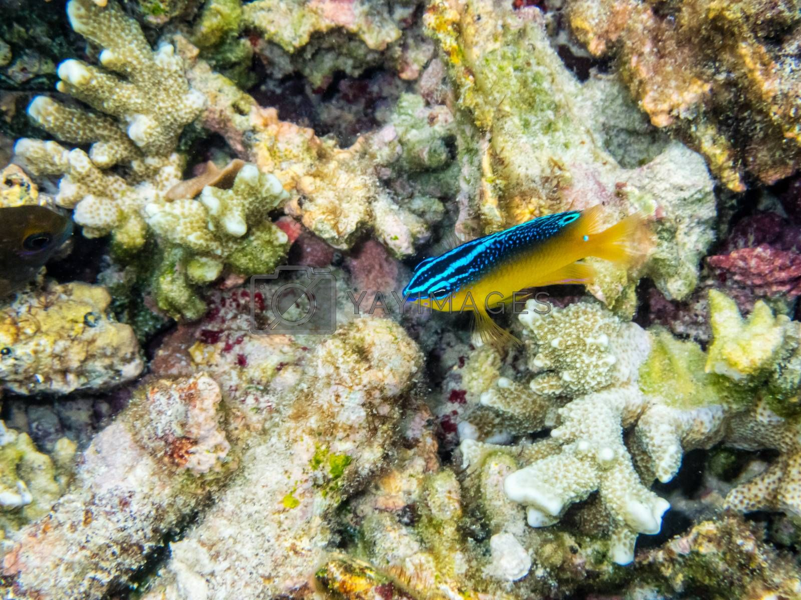 Underwater photos of Stegastes Variabilis or Cocoa Damselfish is a beautiful blue and yellow small sea fish swimming above the coral reefs at Koh Nang Yuan island in Thailand