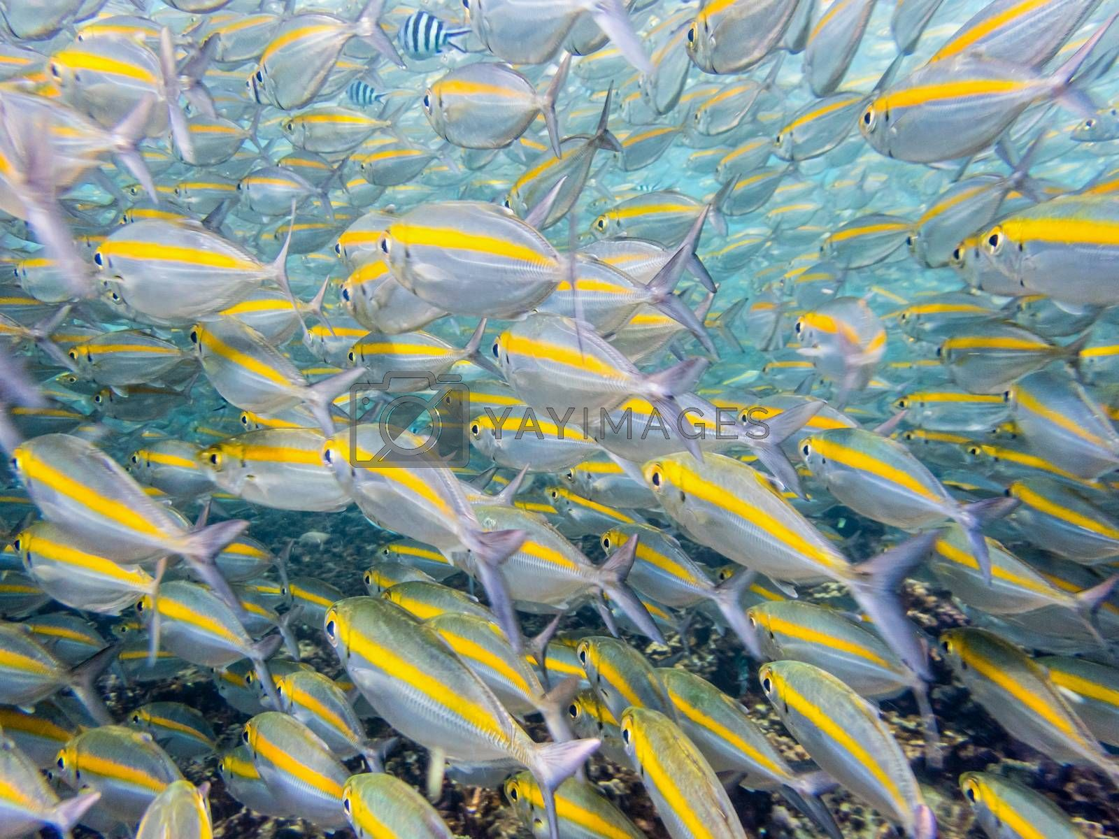 Underwater photos group of Goldband Fusilier or Pterocaesio Chrysozona is a sea fish herd with a bright yellow stripe beautiful at Koh Nang Yuan island in Thailand