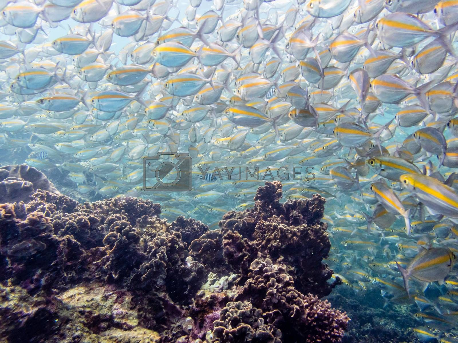 Underwater photos group of Goldband Fusilier or Pterocaesio Chrysozona is a sea fish herd with a bright yellow stripe beautiful swimming above the coral reefs at Koh Nang Yuan island in Thailand