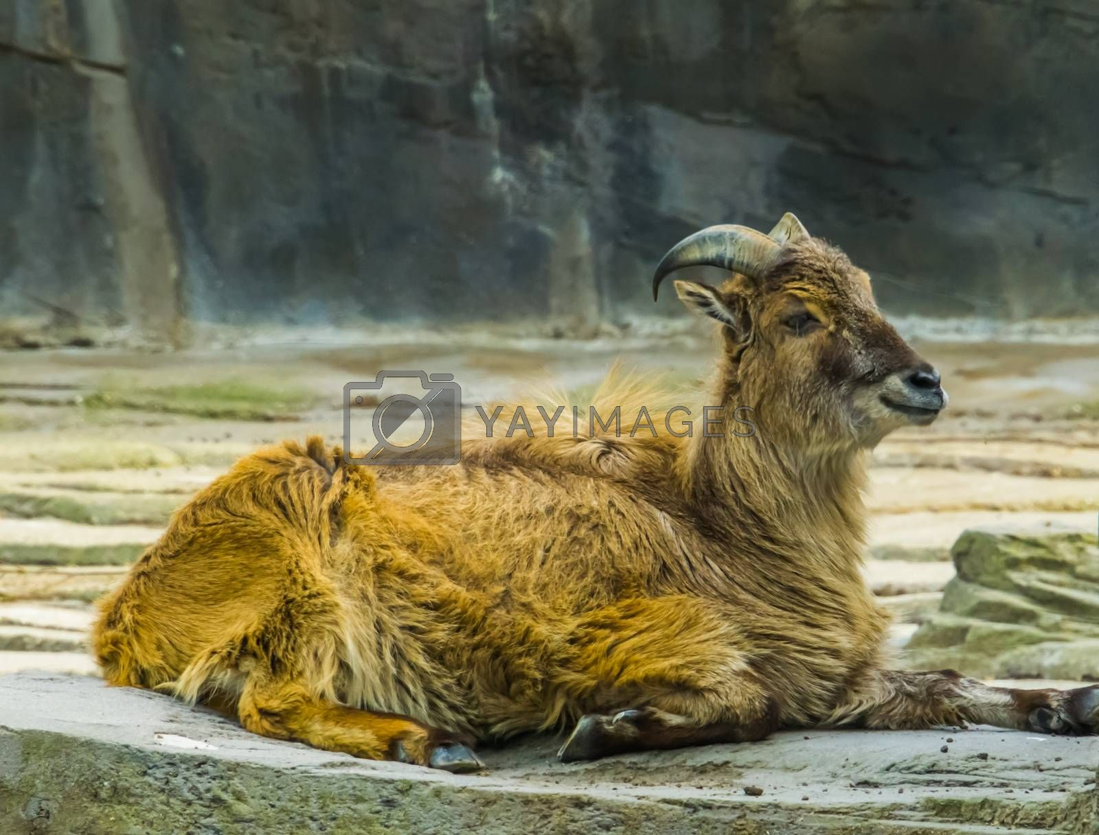 closeup portrait of a himalayan tahr, tropical wild goat from the mountains of India and Asia