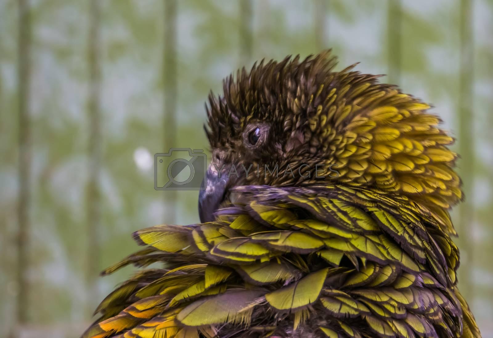closeup of the face of a kea parrot, Alpine parrot from new zealand, Endangered bird specie