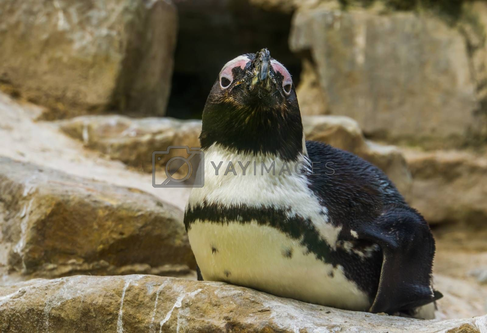 closeup of a african black footed penguin sitting on a rock, tropical semi aquatic bird from the coast of Africa, Endangered animal specie
