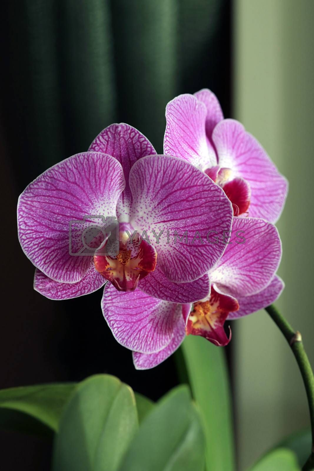 Beautiful purple orchid flower isolated on green