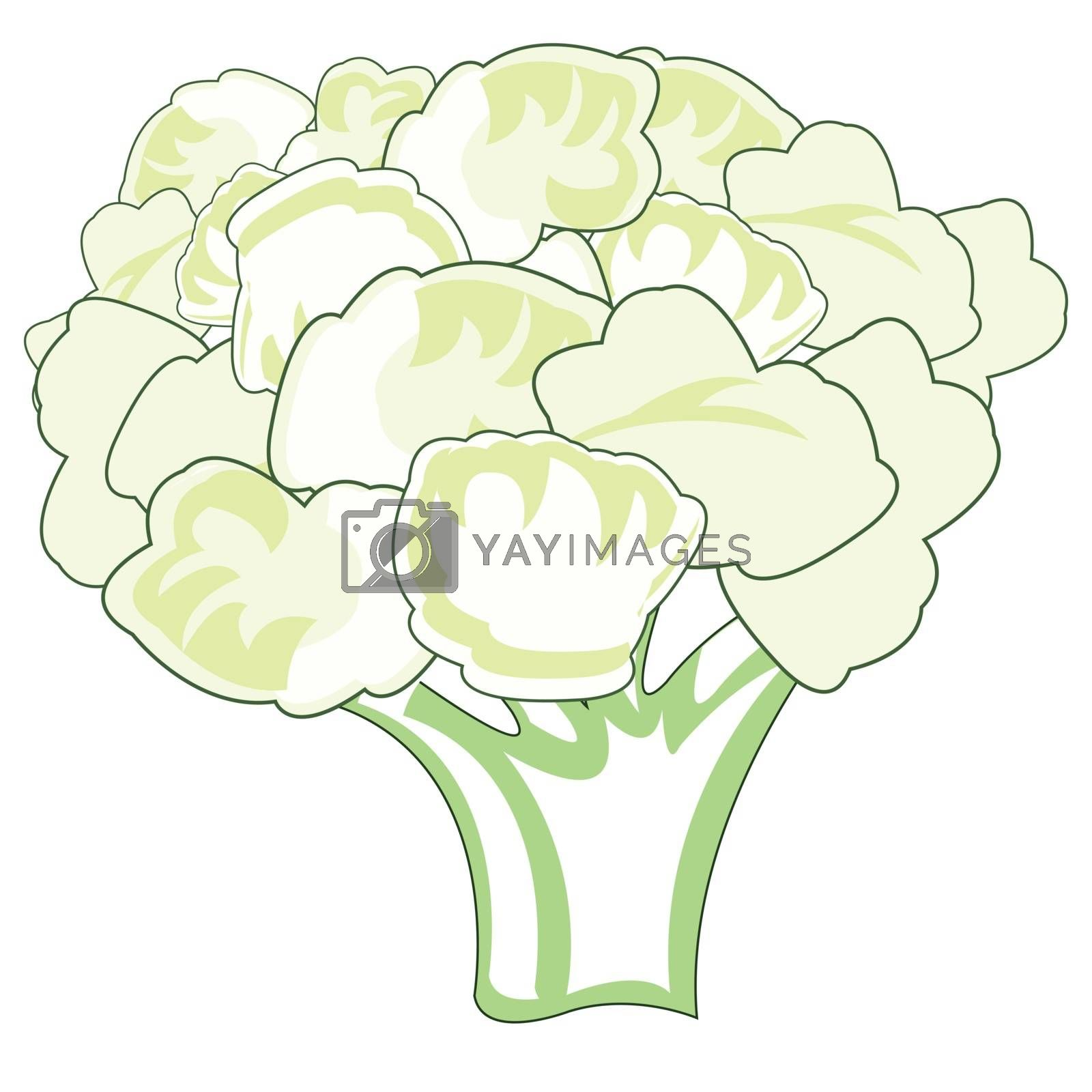 Vector illustration of the bunch cauliflower on white background