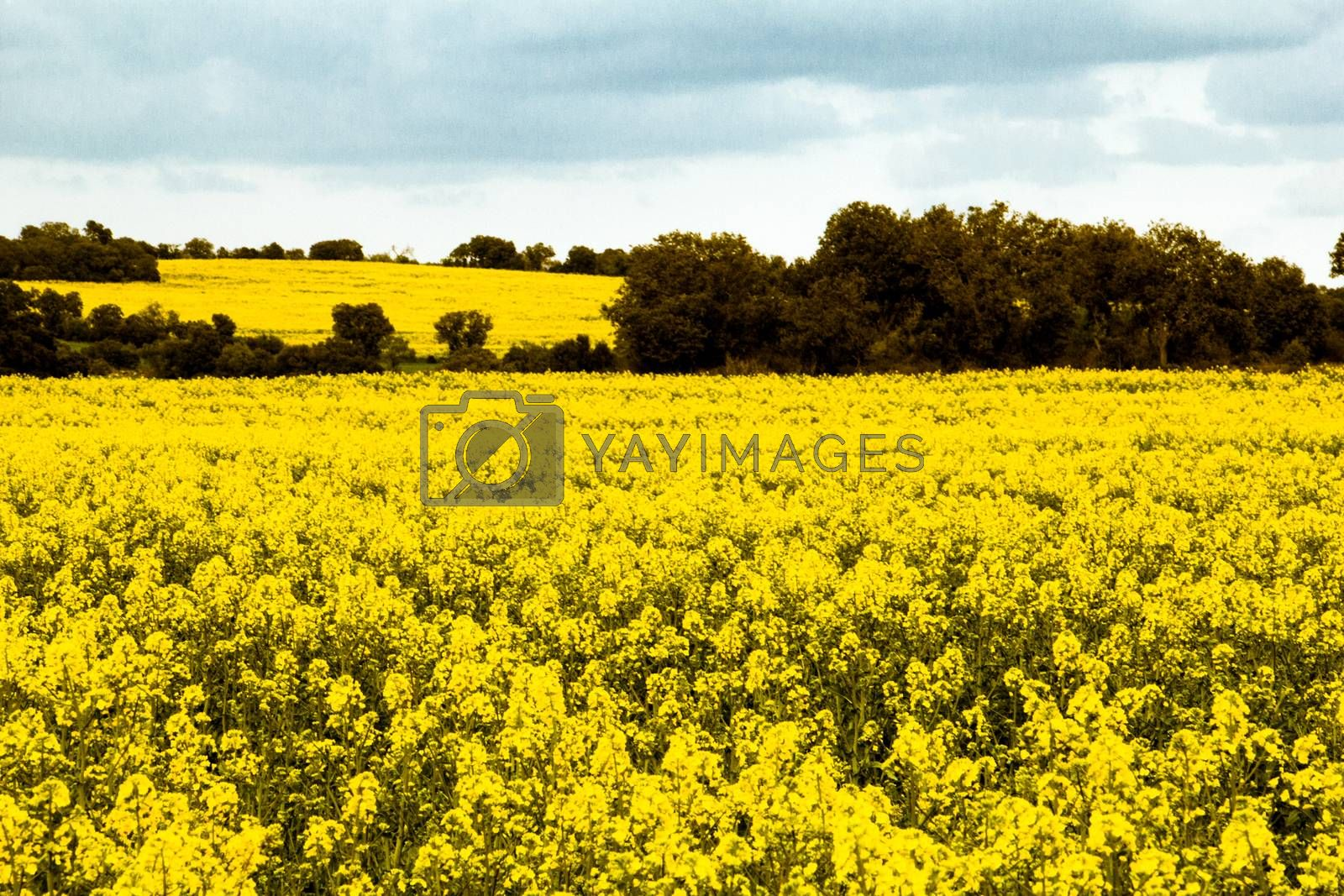 Yellow field of blossomed soy with cloudy sky and trees at the background