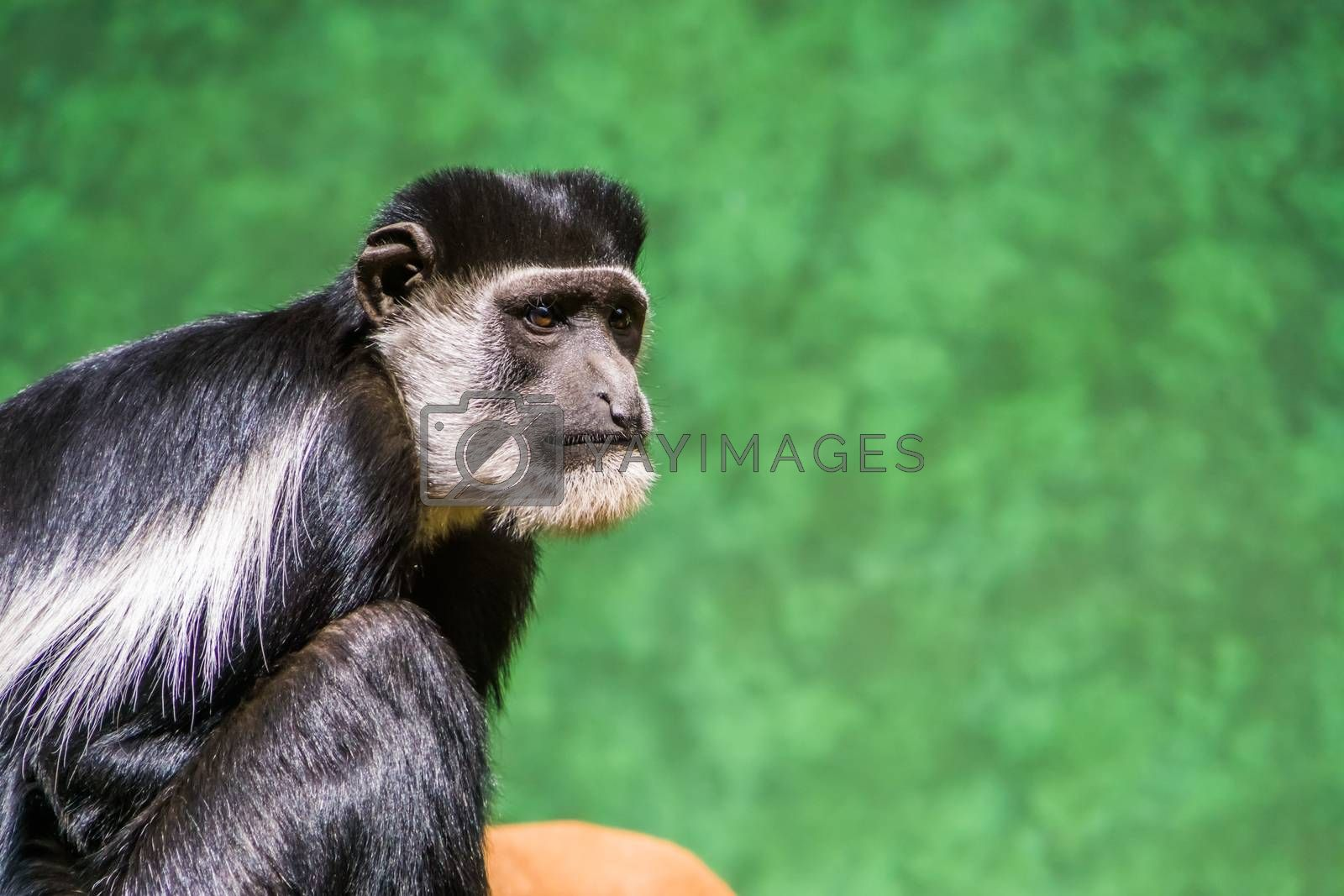 the face of a Abyssinian black and white colobus in closeup, tropical monkey specie from Africa