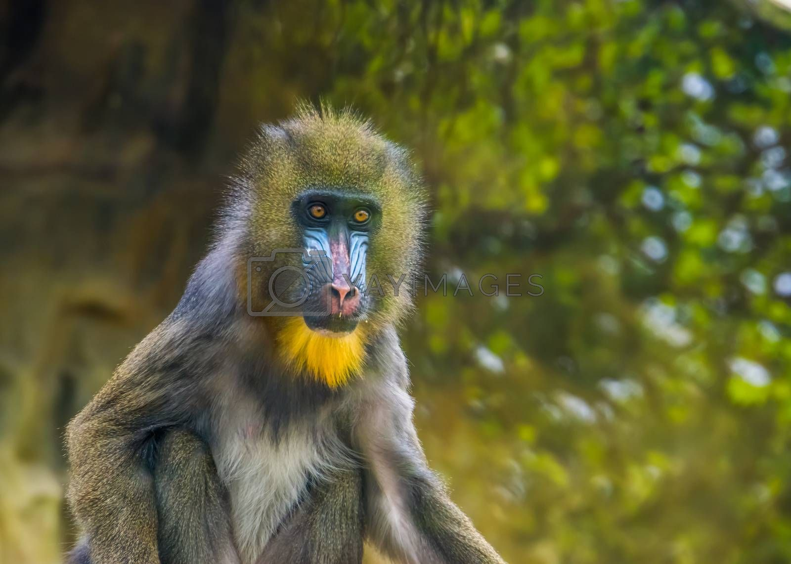 closeup portrait of a mandrill monkey, vulnerable animal specie, tropical primate from cameroon, africa
