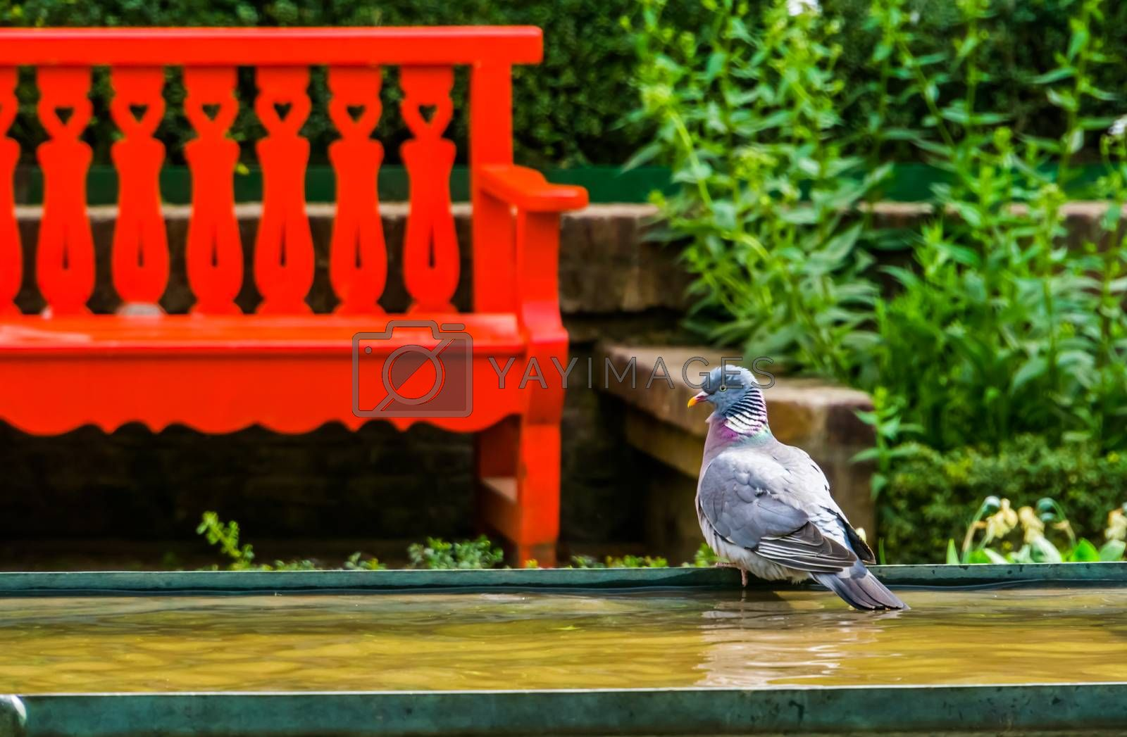 common wood dove sitting at the water side in the park, Bird species from Eurasia