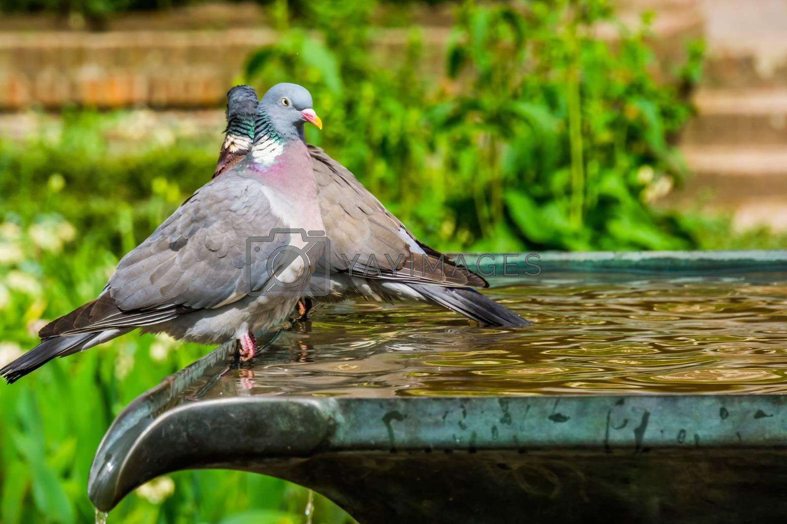 closeup of a common wood dove sitting on water fountain in a garden, common bird in Eurasia