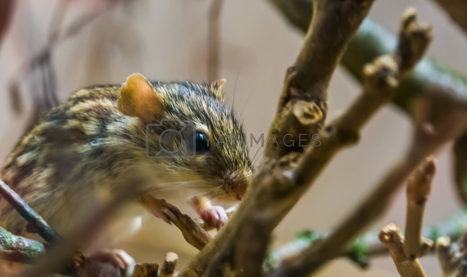 closeup of a barbary striped grass mouse, tropical rodent from Africa, popular pet