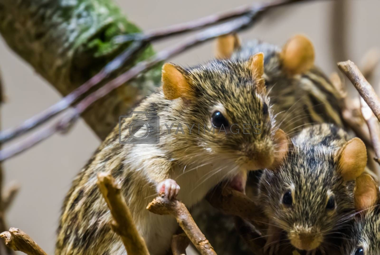 closeup of a nest of barbary striped grass mouse, popular rodents from Africa