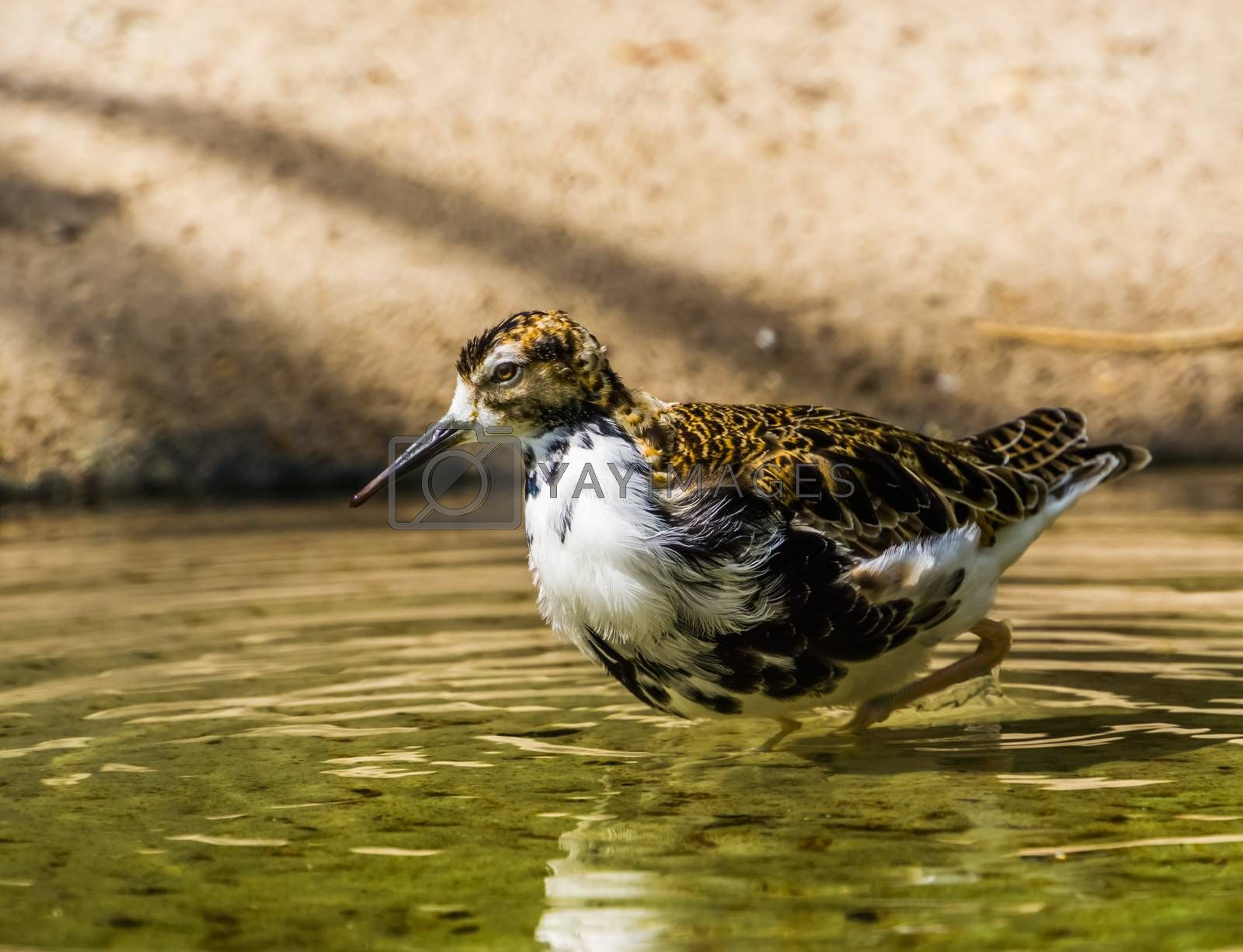closeup portrait of a female ruff walking through the water, Wading bird from Eurasia