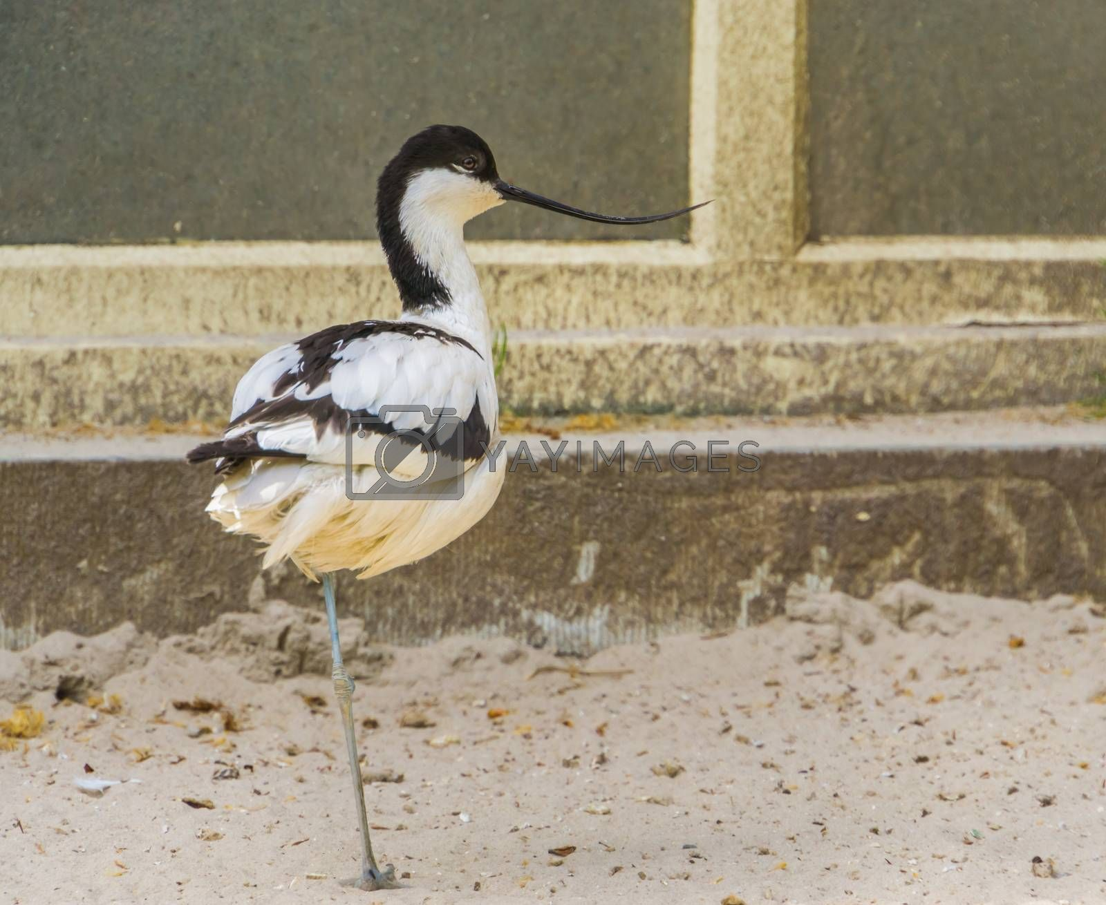 closeup portrait of a pied avocet, popular wading bird from Eurasia, bird with a funny curved bill