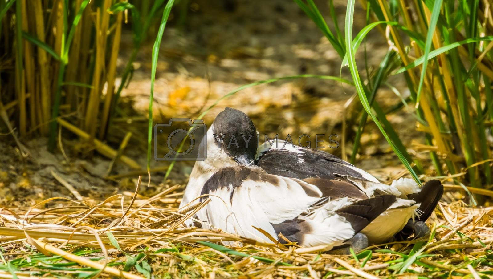 closeup of a pied avocet sitting between some grass, wading bird from Eurasia