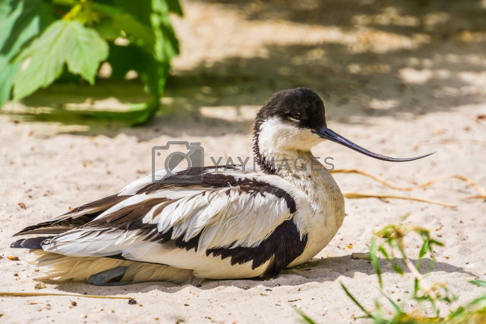 closeup portrait of a pied avocet sitting on the ground, black and white wading bird with a curved bill, migratory bird from Eurasia