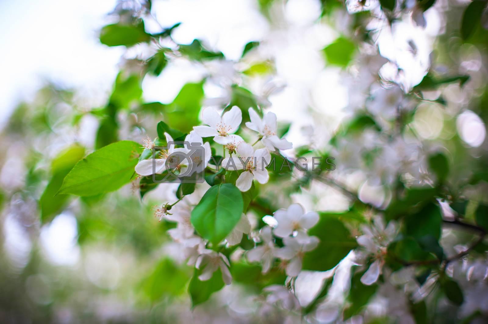 Blooming apple tree in spring time.