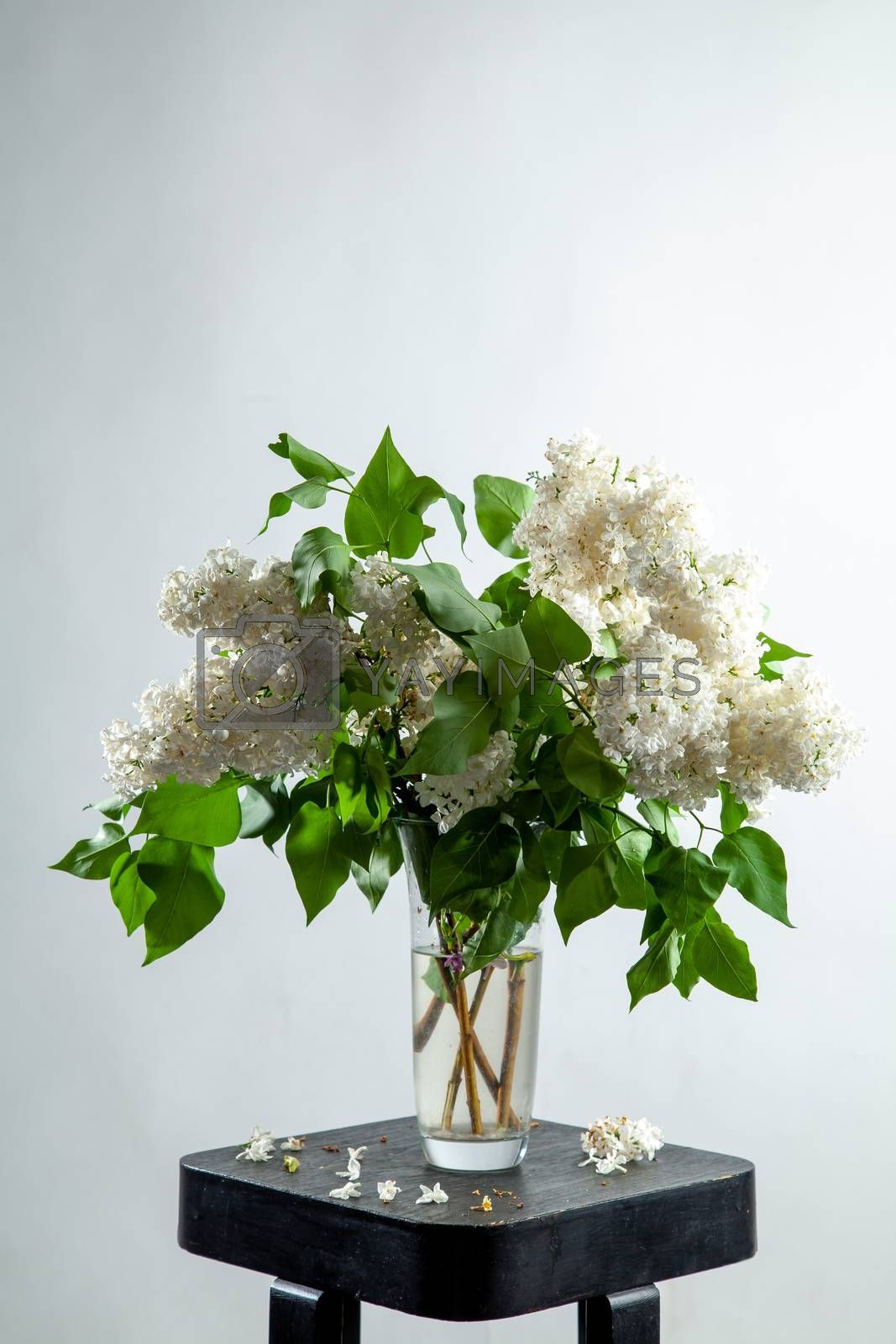 White branches of lilac in glass vase on gray background. Spring branch of blooming lilac on the table with gray background. Fallen lilac flowers on the table.