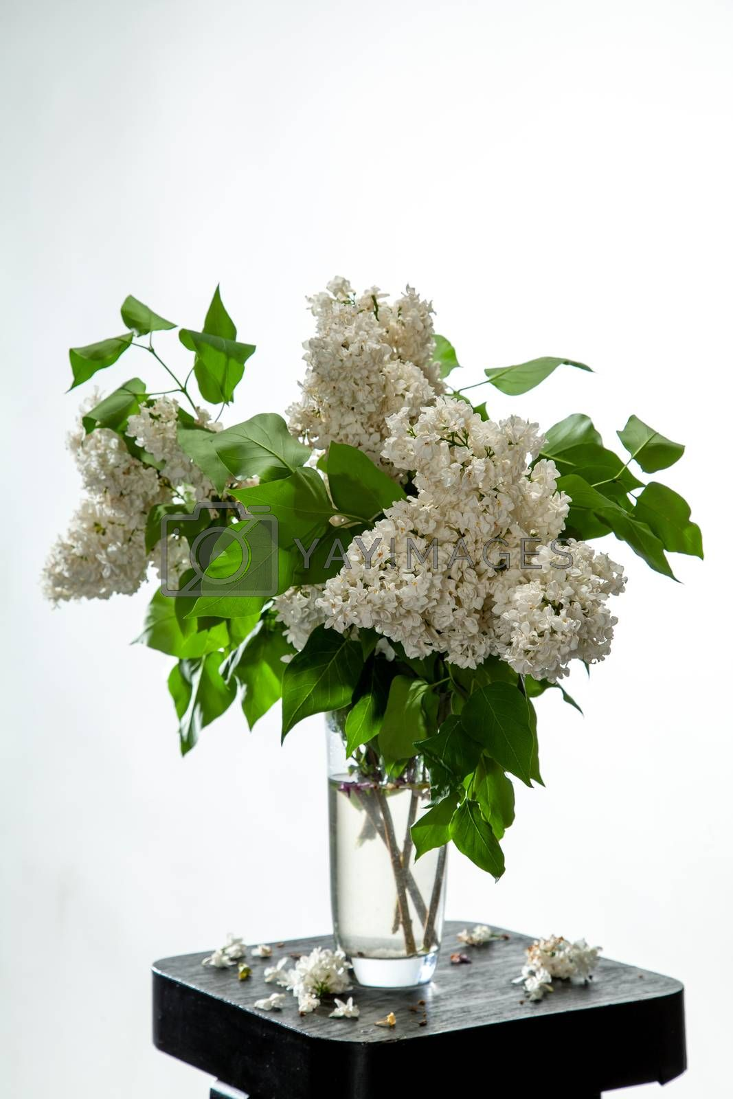 White branches of lilac in glass vase on white background. Spring branch of blooming lilac on the black table with white background. Fallen lilac flowers on the table.