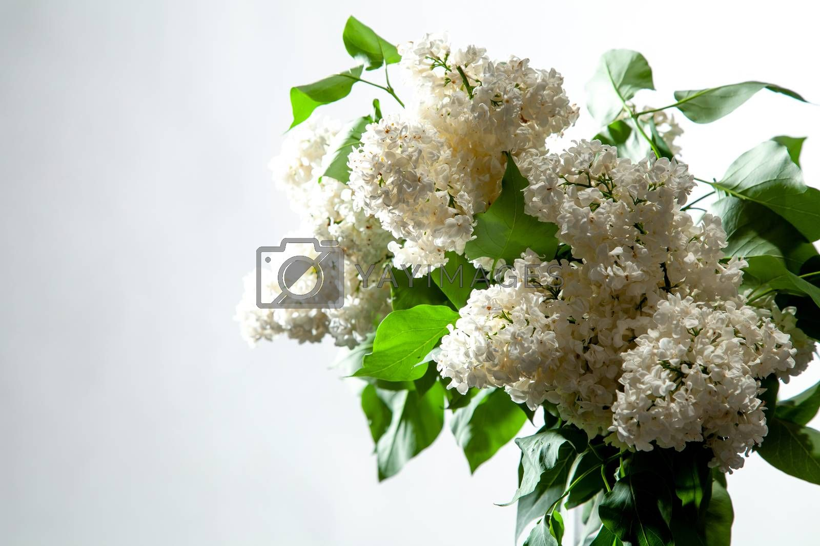 Branches of white lilac in vase on white background. Spring branch of blooming lilac on the white background.