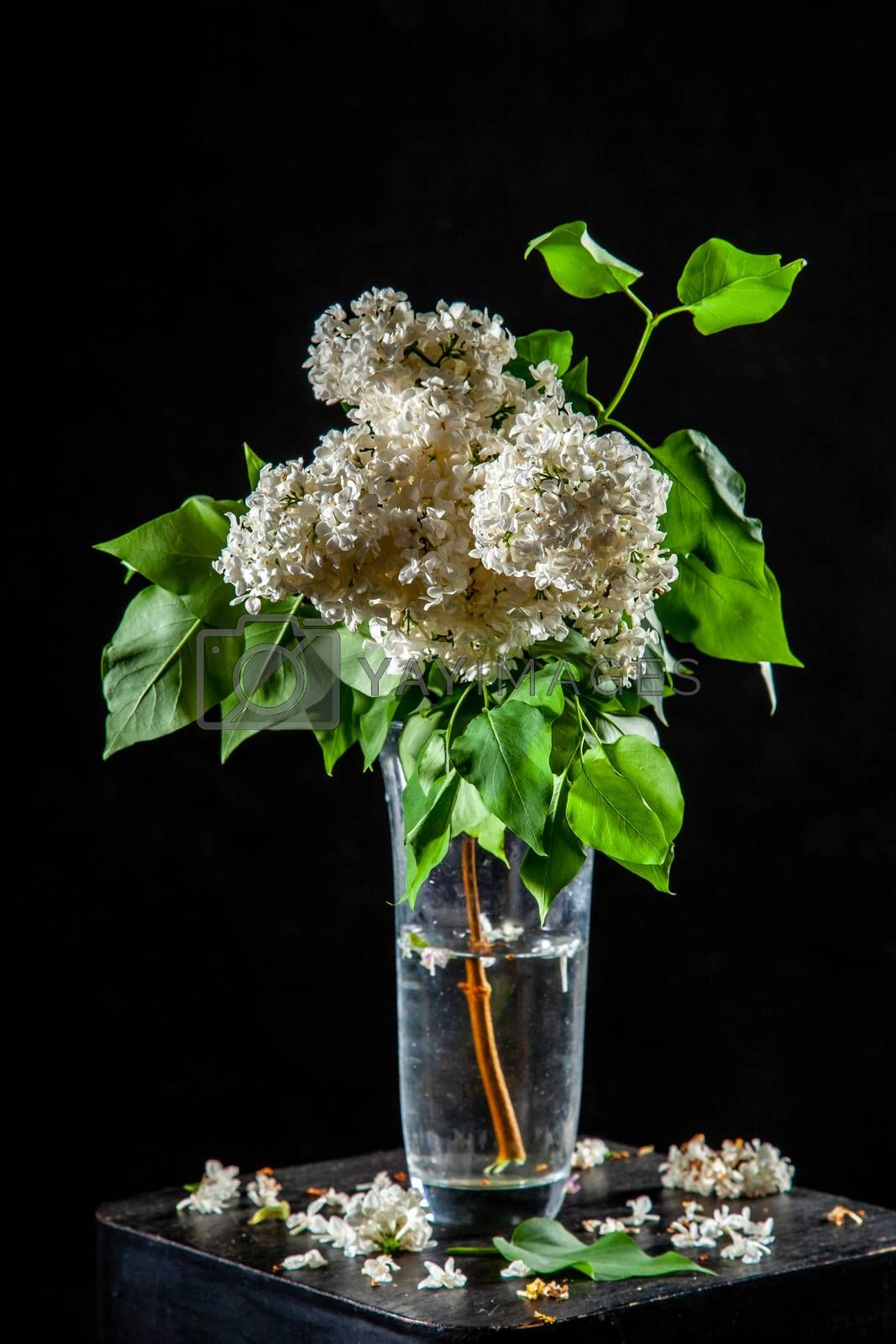 Branches of white lilac in glass vase on black background. Spring branch of blooming lilac on the table with black background. Fallen lilac flowers on the table.