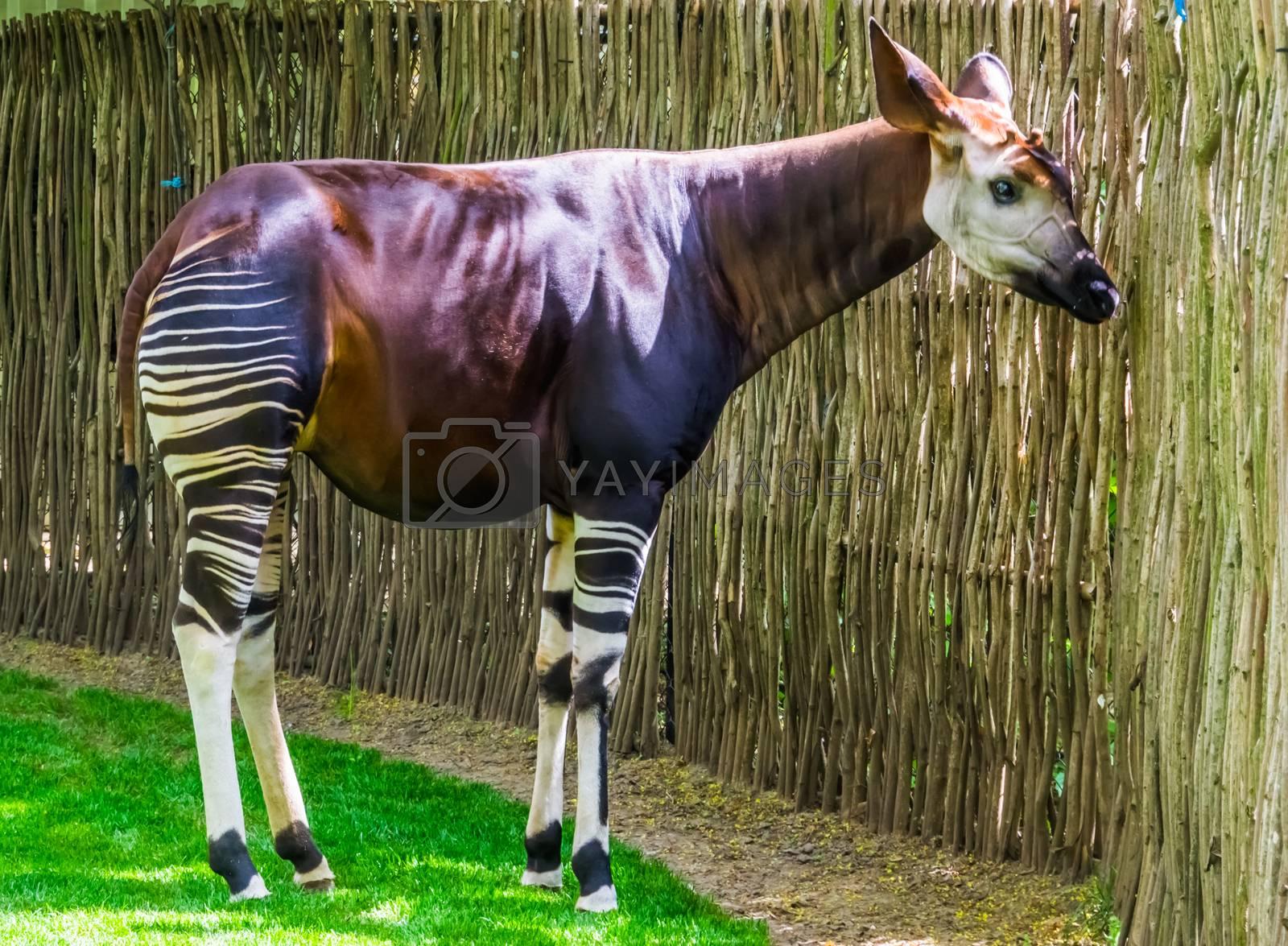 Okapi in closeup, Endangered animal specie, giraffe from Congo, Africa