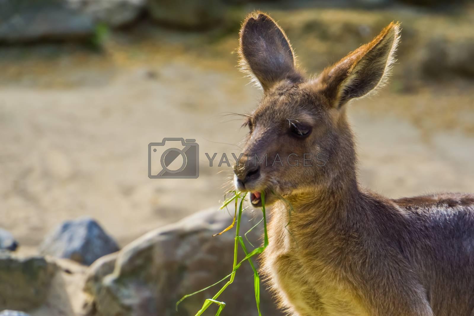 closeup of a eastern grey kangaroo eating grass, Marsupial from Australia