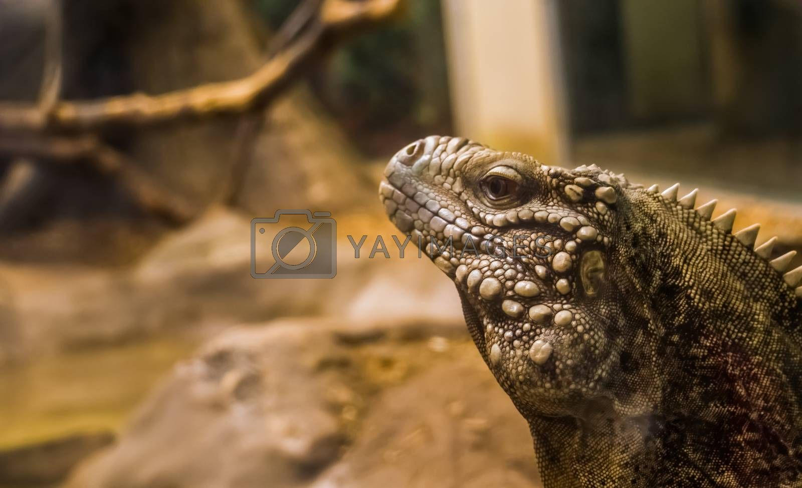 the face of a cuban rock iguana in closeup, tropical and vulnerable lizard specie from the coast of Cuba