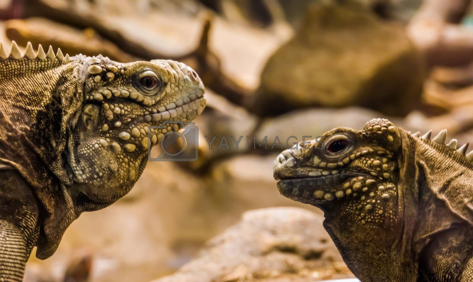The faces of two cuban rock iguanas in closeup, tropical and vulnerable lizards from the coast of Cuba