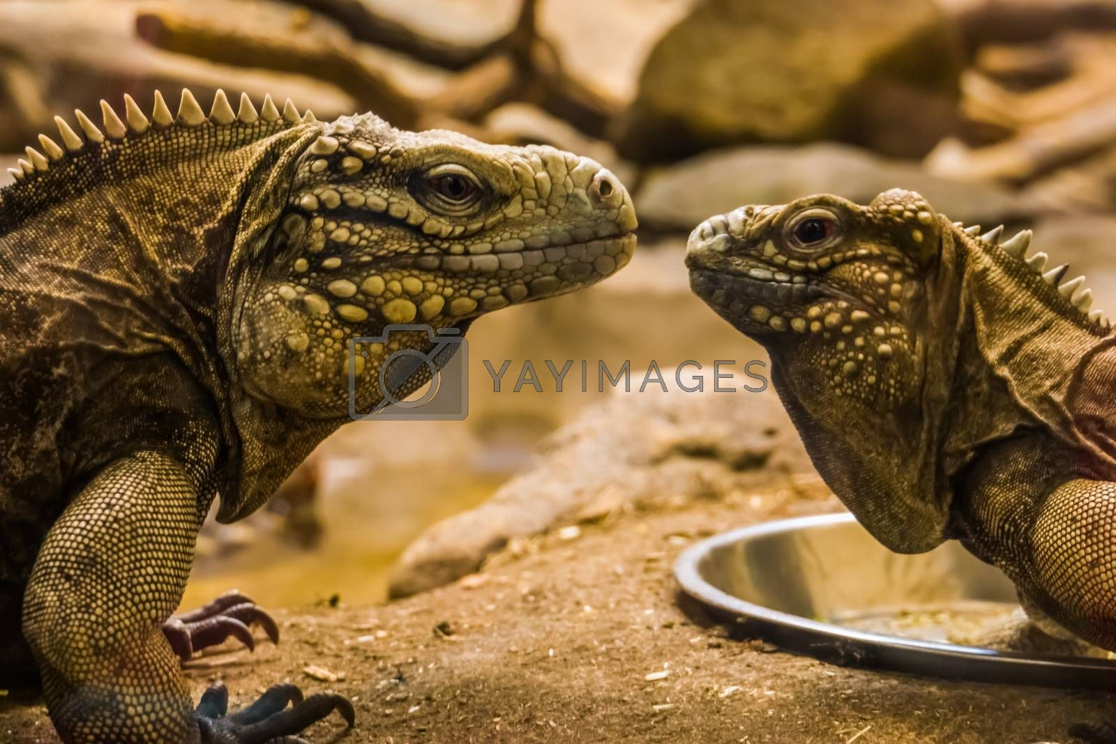 the faces of two cuban rock iguanas close together, tropical and vulnerable lizard specie from the coast of cuba