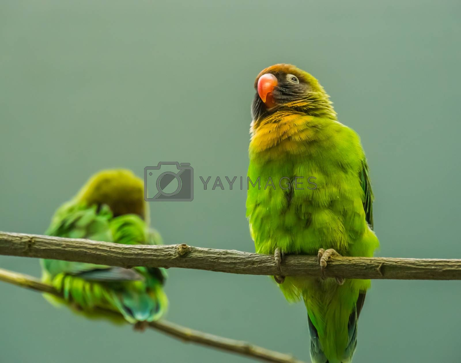 closeup portrait of a black cheeked lovebird, Near threatened tropical specie from Zambia, Africa