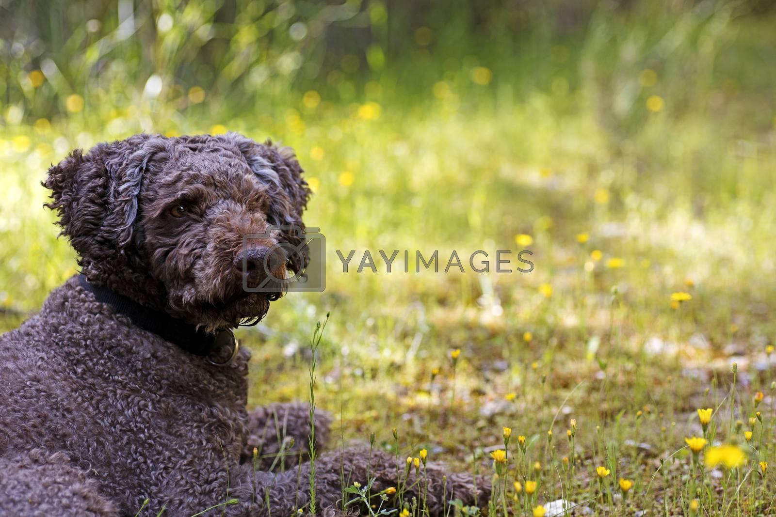Super cute dog portrait Lagotto romagnole macro background fine art in high quality prints products 50,6 Megapixels